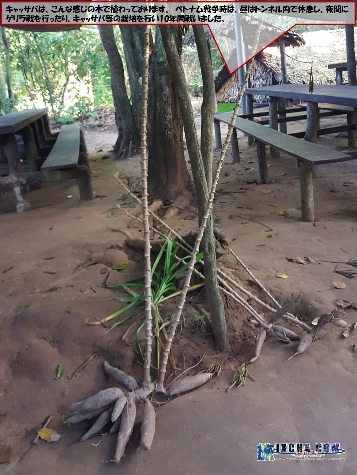 キャッサバは、こんな感じの木で植わっております。 ベトナム戦争時は、昼はトンネル内で休息し、夜間にゲリラ戦を行ったり、キャッサバ等の栽培を行い10年間戦いました。