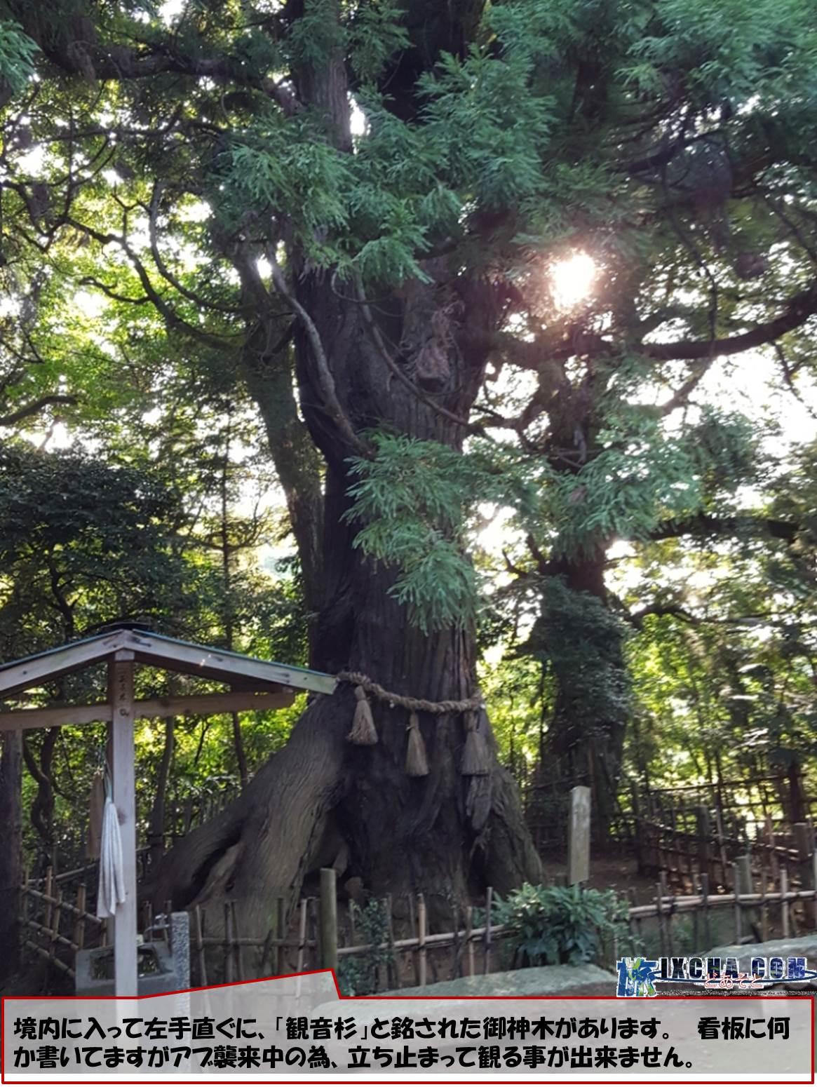 境内に入って左手直ぐに、「観音杉」と銘された御神木があります。 看板に何か書いてますがアブ襲来中の為、立ち止まって観る事が出来ません。