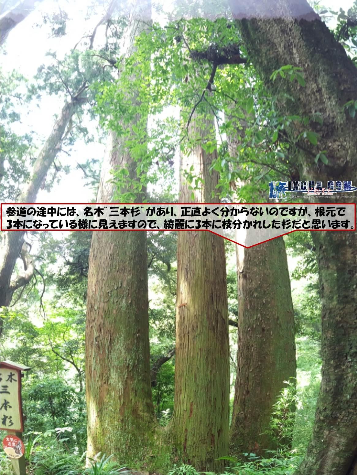 """参道の途中には、名木""""三本杉""""があり、正直よく分からないのですが、根元で3本になっている様に見えますので、綺麗に3本に枝分かれした杉だと思います。"""