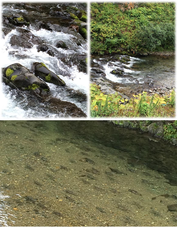 鮭!!鮭!!!鮭!!!! 鮭の遡上が観れました!!!ちょっとコレは感動です。 調べてみると7月~10月にかけて鮭・マスの遡上が観れるそうです。