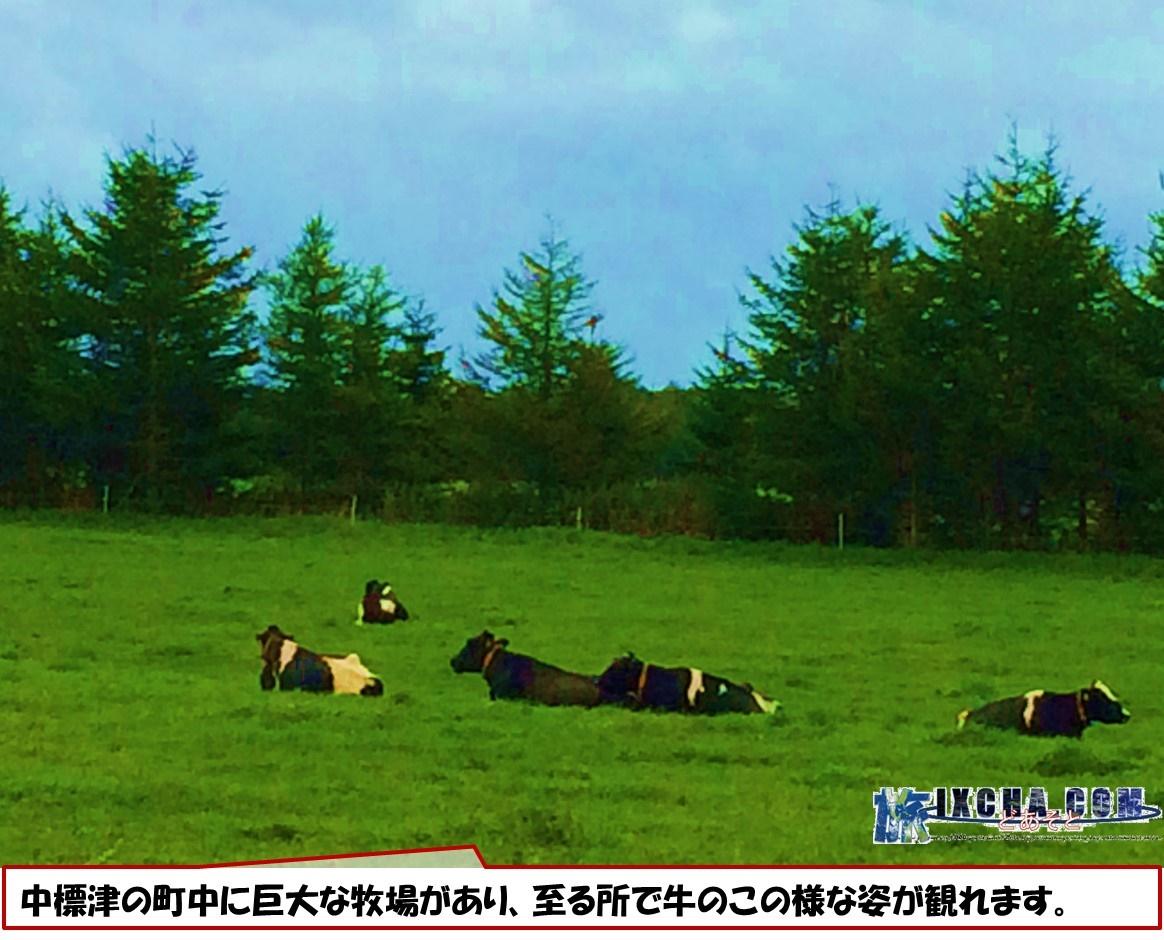 中標津の町中に巨大な牧場があり、至る所で牛のこの様な姿が観れます。