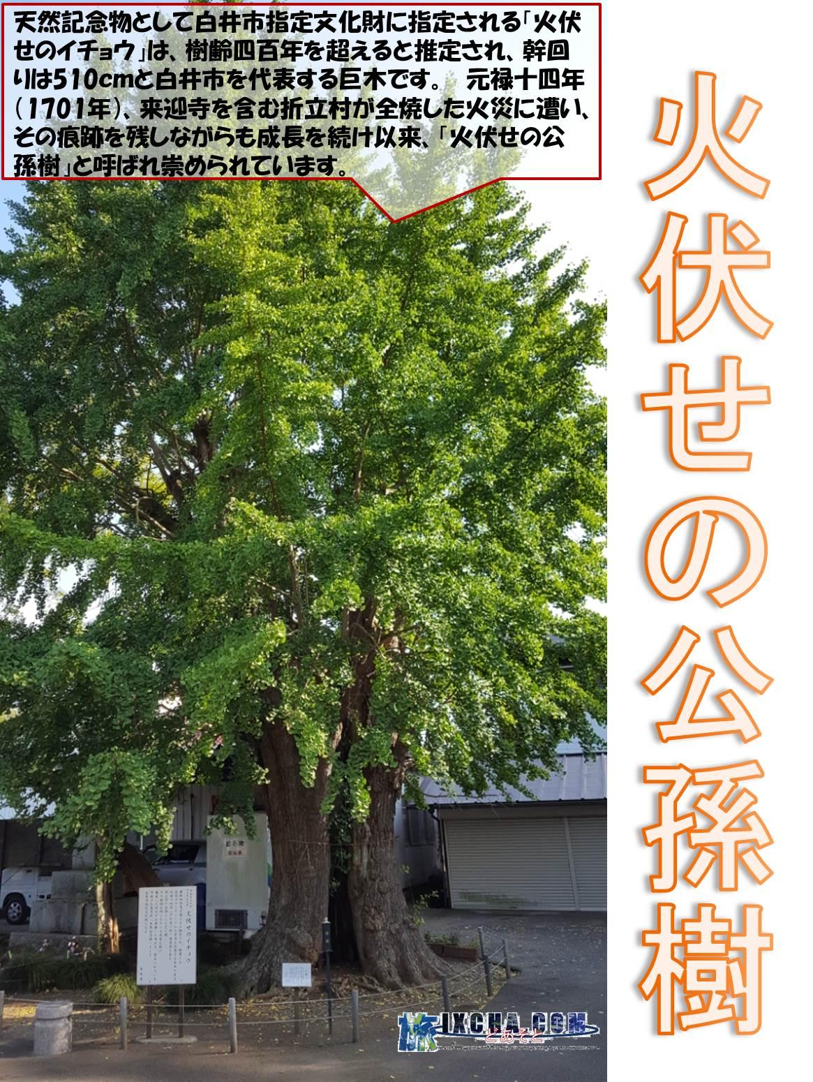 火伏せの公孫樹 天然記念物として白井市指定文化財に指定される「火伏せのイチョウ」は、樹齢四百年を超えると推定され、幹回りは510cmと白井市を代表する巨木です。 元禄十四年(1701年)、来迎寺を含む折立村が全焼した火災に遭い、その痕跡を残しながらも成長を続け以来、「火伏せの公孫樹」と呼ばれ崇められています。