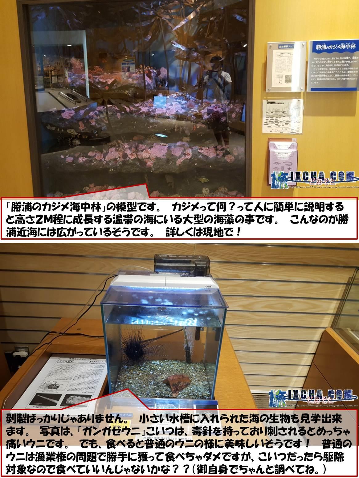 勝浦のカジメ海中林」の模型です。 カジメって何?って人に簡単に説明すると高さ2M程に成長する温帯の海にいる大型の海藻の事です。 こんなのが勝浦近海には広がっているそうです。 詳しくは現地で! 剥製ばっかりじゃありません。 小さい水槽に入れられた海の生物も見学出来ます。 写真は、「ガンガゼウニ」こいつは、毒針を持っており刺されるとめっちゃ痛いウニです。 でも、食べると普通のウニの様に美味しいそうです! 普通のウニは漁業権の問題で勝手に獲って食べちゃダメですが、こいつだったら駆除対象なので食べていいんじゃないかな??(御自身でちゃんと調べてね。)