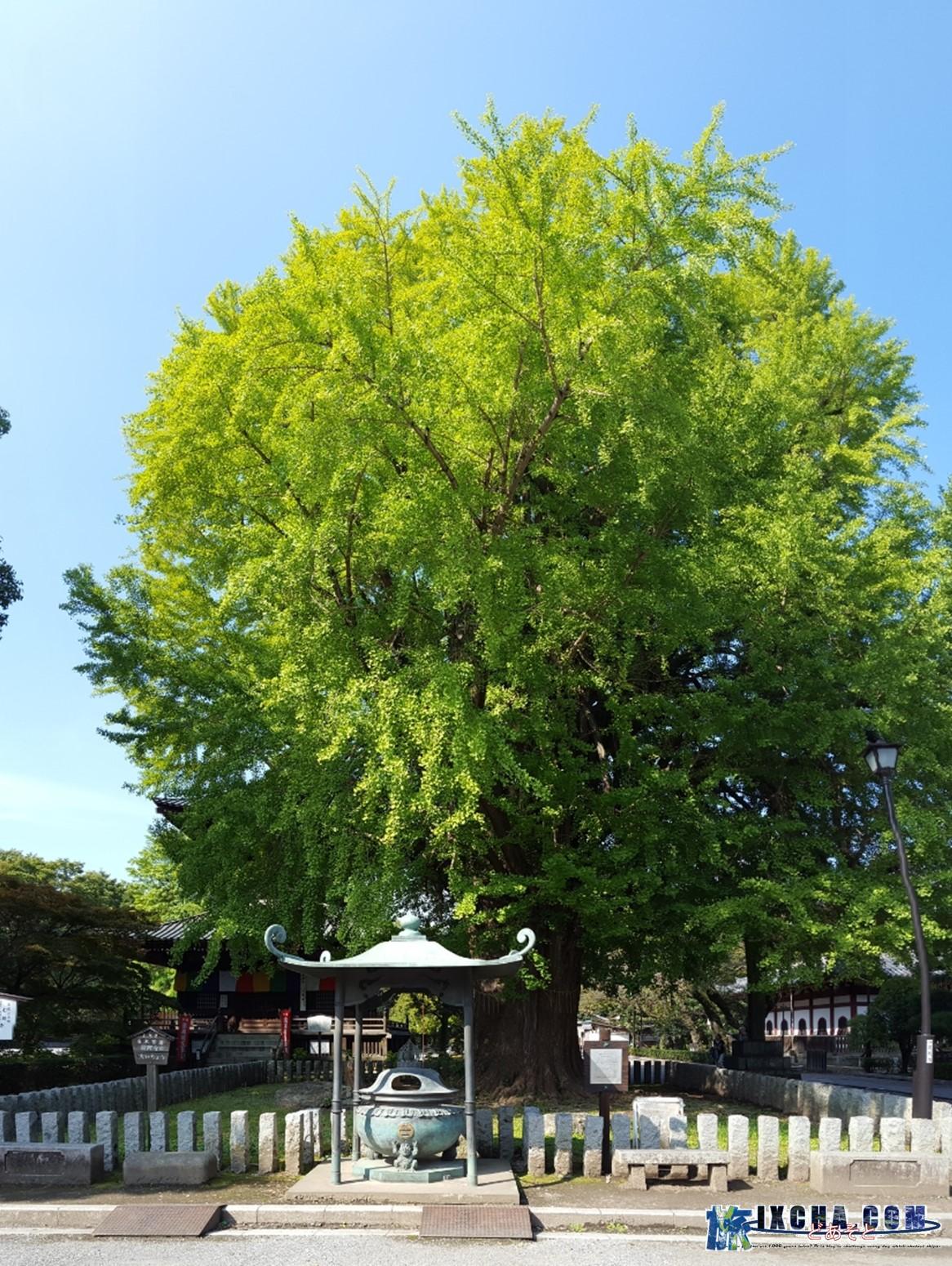また、横には栃木県の名木百選にも選ばれる樹齢約550年の「鑁阿寺の大いちょう」の樹があります。 この樹は、開基 足利義兼による御手植えと称され江戸時代には既に大木となっていたと伝わるが、鎌倉時代の古地図には載っておらず、また約800年前を生きた足利義兼が、樹齢約550年の樹を植えれる訳もないので、格式を高める為の誤伝だと思われます。 550年前とは室町時代に辺り、樹の成長速度から考えて江戸時代には大木になっているのは理に適っています。 高さが30㍍あるこの巨木は、境内における避雷針の役割りを果たしており、諸堂の災厄を守護をしております。 また、昔は、この前でお見合いが行われる等、縁結びの御神木とも伝わります。