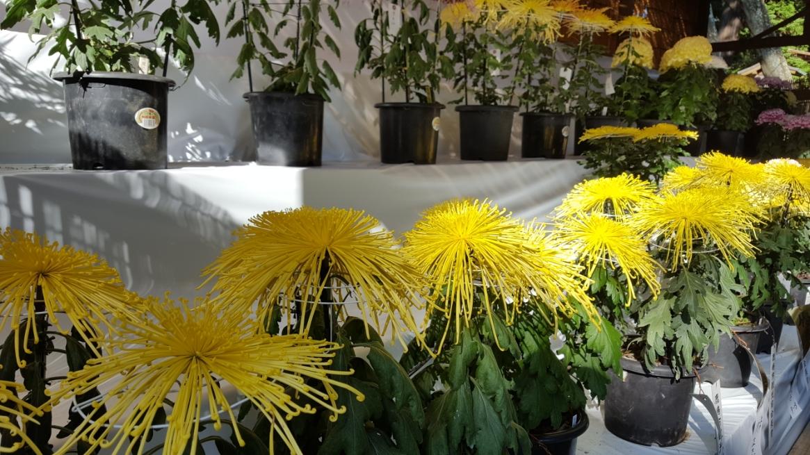 菊の事を全く知らかったのですが、刺身の横に付いてくる食用の菊以外にも大小様々な菊の種類があったのですね。
