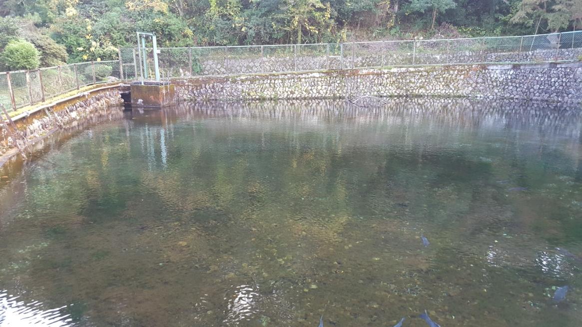 参拝後、湧き水の見学を開始します。 たしかに、水は綺麗なのだと思いますが、この池自体を観て美しいとは全く思わなかったです。 んーっ往復5000円の高速代を使って来たのにっとちょっとガッカリです。 いや、待て!観る角度によっては良いのかもしれないので池の周りを歩いてみます。