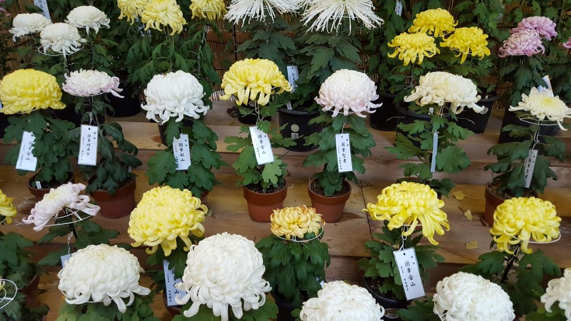 季節は秋なので見事な菊が展示されていました。 また、他にはジオラマみたいな不思議な盆栽等あり少しだけ、本当に少しだけ面白かったです。