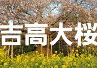 天然記念物に指定される千葉県印西市の樹齢300年『吉高大桜』へ潜入調査!