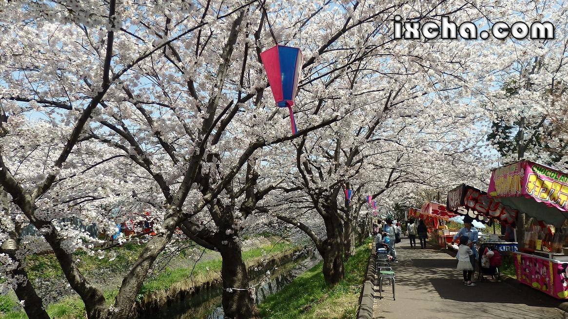 海老川の桜祭り